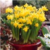 100 Narcissus Tete a Tete multiflowered bulbs