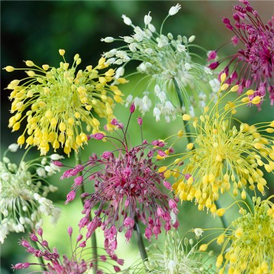 Allium Fireworks Mix x 10 Bulbs