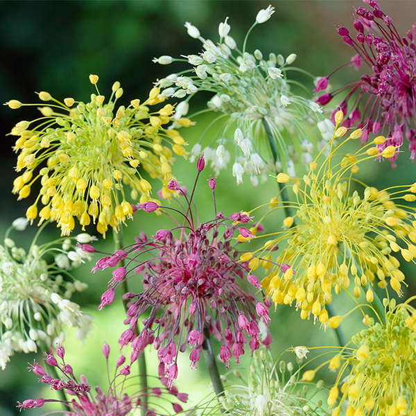 Allium Fireworks Mix x 10 Bulbs No Colour