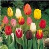 Triumph Tall Tulips Mix x 50 Bulbs No Colour