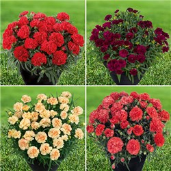 Hardy Mini Carnations Sunflor Mix  x 12 Plugs
