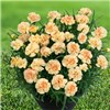 Hardy Mini Carnations Sunflor Mix  x 12 Plugs No Colour