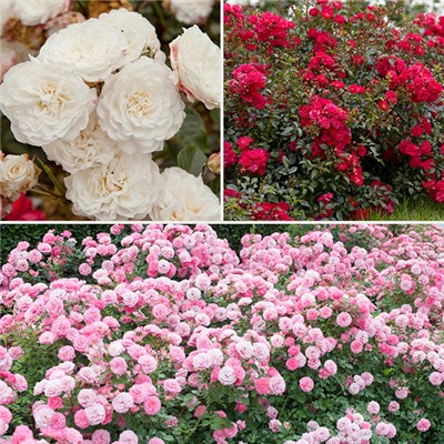 Groundcover Roses Classic 9cm (3 Pack)