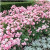 Groundcover Roses - Classic Collection 3 x 9cm No Colour