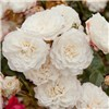 Groundcover Roses - Classic Collection 3 x 9cm