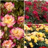 Groundcover Roses - Fruity Collection 3 x 9cm