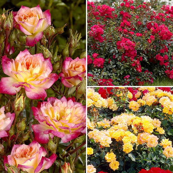 Groundcover Roses - Fruity Collection 3 No Colour