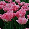 20 Orange Tulips and 30 Pink Tulips with 4 Coloured Planters No Colour