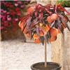 Peach Crimson Bonfire Tree and 13 Inch Metallic Planter No Colour