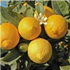 Complete Citrus Growing Kit - Orange, Lemon, 2 planters, fleeces & feed