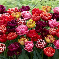 Pack of 40 Peony Flowered Tulips