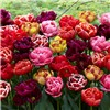Pack of 40 Peony Flowered Tulips No Colour