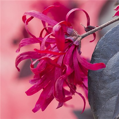 Loropetalum Chinese Witch Hazel 'EverRed' 2L
