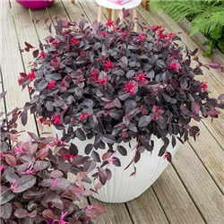 Loropetalum Chinese Witch Hazel EverRed 2L