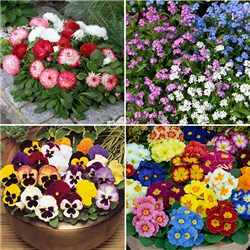 Autumn Bedding Bundle 12 Primrose 12 Pansy 6 Bellis and 6 Forget me Not