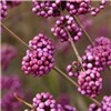 Callicarpa (Beauty Berry) - set of 3 plants in 9cm pots