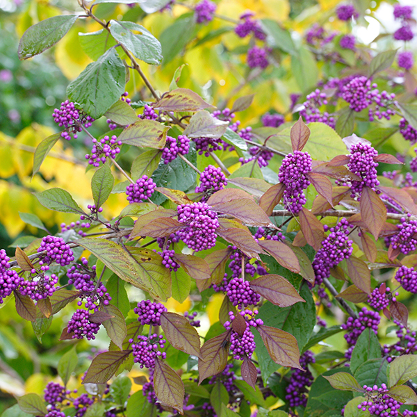 Callicarpa (Beauty Berry) - Set of 3 Plants in 9cm Pots No Size