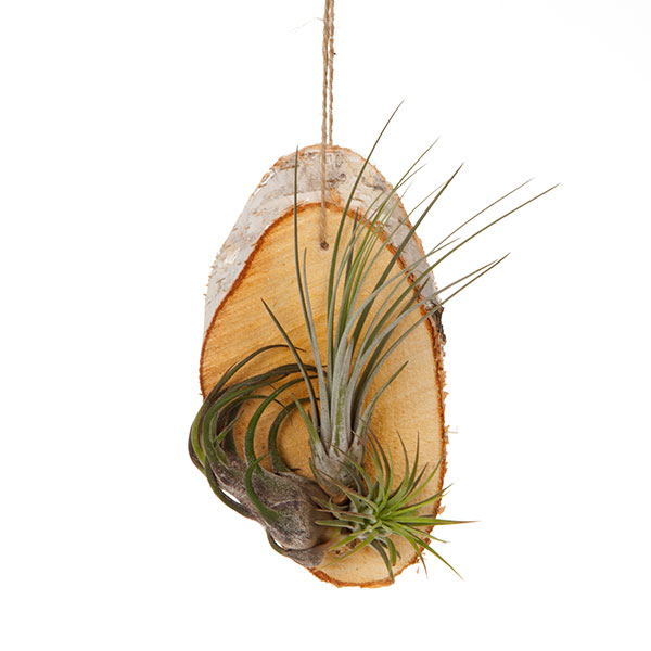 Hanging Birch Slice Air Plant Kit No Colour