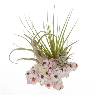Grand Barnacle Air Plant Kit