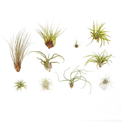 Large Sized Air Plant Collection - 10 Pack