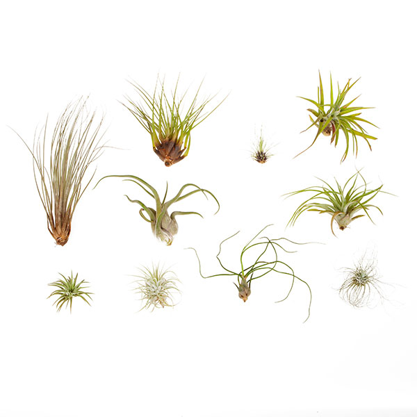 Large Sized Air Plant Collection - 10 Pack No Colour
