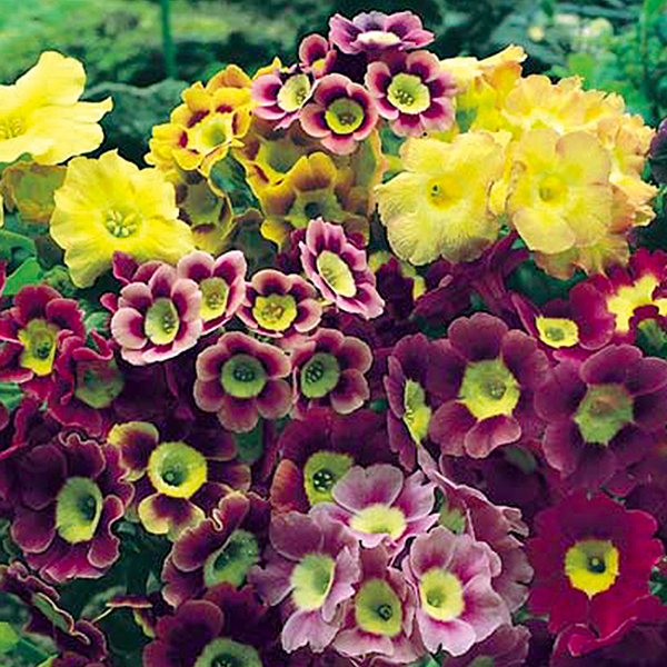 Hardy Primula auricula 12 x Plugs No Colour