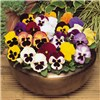120 Mixed Winter Pansy Plug Plants