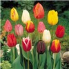 100 Daffodil and 50 Tulip Bulbs No Colour