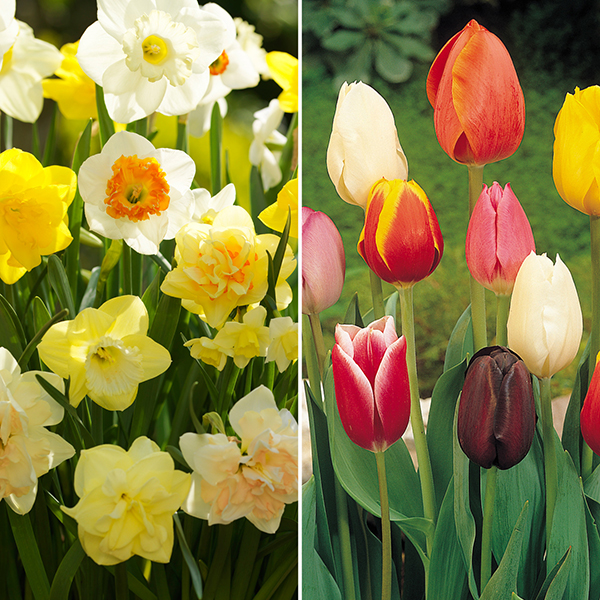 Image of 100 Daffodil and 50 Tulip Bulbs 387928