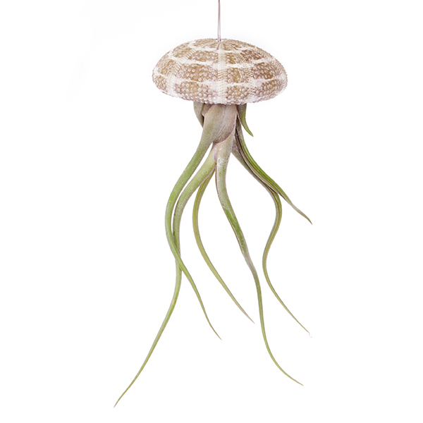 Hanging Sea Urchin Airplant Kit No Colour