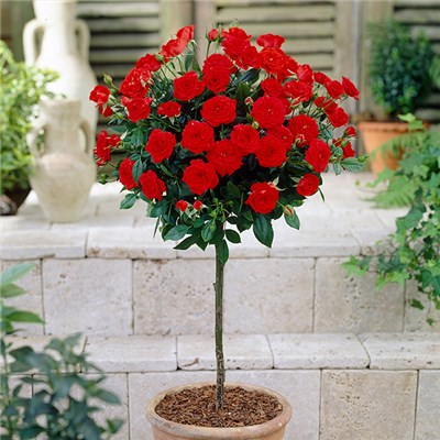Patio standard Rose Red bare root 60cm