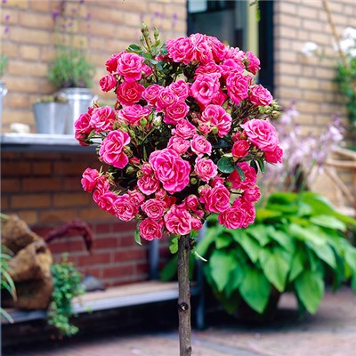 Patio standard Rose Pink bare root 60cm