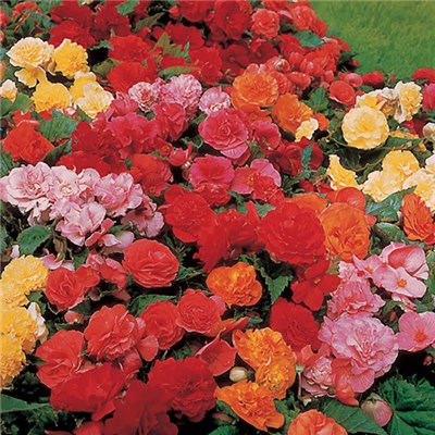 Belgian Begonia corms - 10 uprights