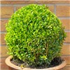 Buxus Ball 25cm Diameter 3L Pot