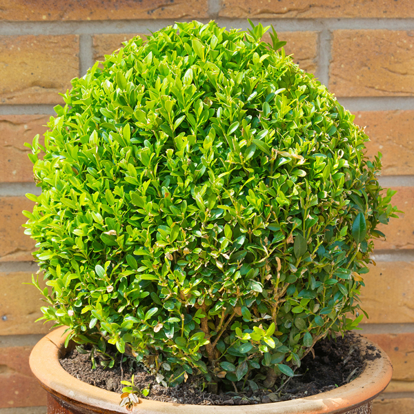 Buxus Ball 25cm Diameter 3L Pot No Colour
