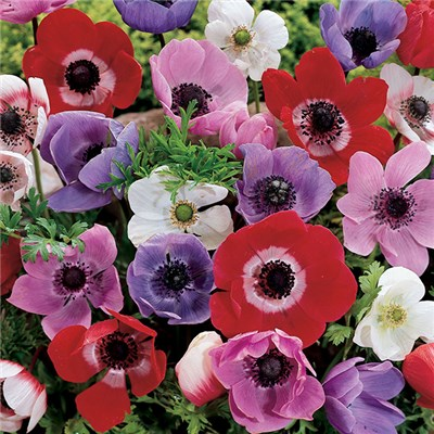 Anemone de Caen - 50 mixed colour bulbs