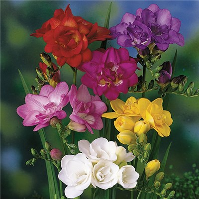 Freesias - 25 mixed colour bulbs