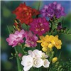 Pack of 25 Mixed Freesia Bulbs
