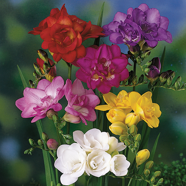 Freesias - 25 mixed colour bulbs No Colour