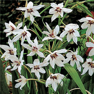 Acidanthera - 50 bulbs