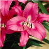 Pink Skyscraper Lily Robina Pack of 5 Bulbs