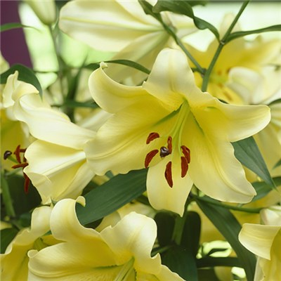 Yellow Skyscraper Lily 'Conca d'Or' Pack of 5 Bulbs