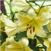 Yellow Skyscraper Lily Conca dor Pack of 5 Bulbs