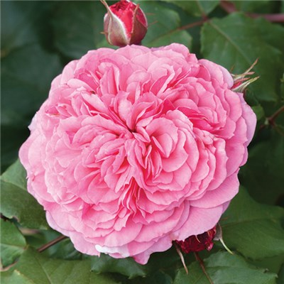 Old English Shrub Rose Pink - bare root