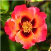 Rose Babylon Eyes Coral Sunshine 60cm Half Standard