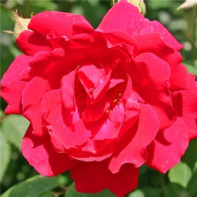Climbing Rose Pauls Scarlet Bare Root