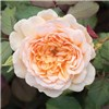 Old English Shrub Rose Collection x 5 Bare Root