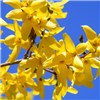 Forsythia Weekend 90cm Standard