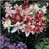 25 Mixed Oriental Lily Bulbs
