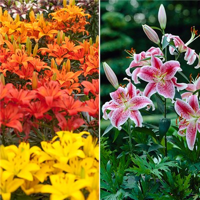 50 Mixed Oriental and Asiatic Lily Bulbs